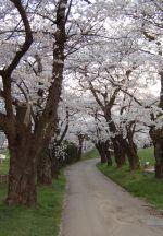 アルプス公園の桜並木